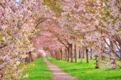 松川公園の桜はお花見スポット松川遊覧船や富山城址公園や市役所!