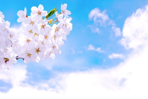 桜のお花見スポットで人気や名所【関東】東京編「千鳥ヶ淵緑道」