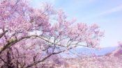 桜のお花見スポットで人気や名所【関東】東京編「中野通り」