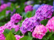 紫陽花(あじさい)の色別の花言葉 青系は「冷淡、無情、高慢、辛抱強い愛情、あなたは美しいが冷淡だ」 ピンク系は「元気な女性」 白色は「寛容」 ガクアジサイの花言葉(原種は青) 花言葉はは「謙虚」