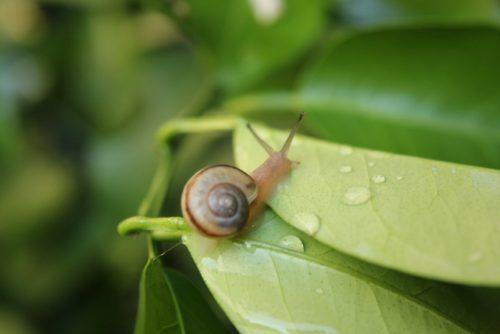 カタツムリのエサや好物の食べ物とあげてはいけない食べ物 カタツムリの飼育方法に必要な物 寿命は? コンクリートから染み出る炭酸カルシウムも食べたりします。 アジサイの葉っぱには毒がありカタツムリは 外敵からみを守る為にアジサイの葉にいる。